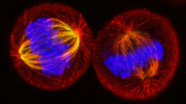 Dividing_cells
